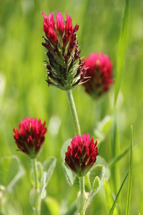 Flower Blossom Bloom Red Clover Red Wild Flower