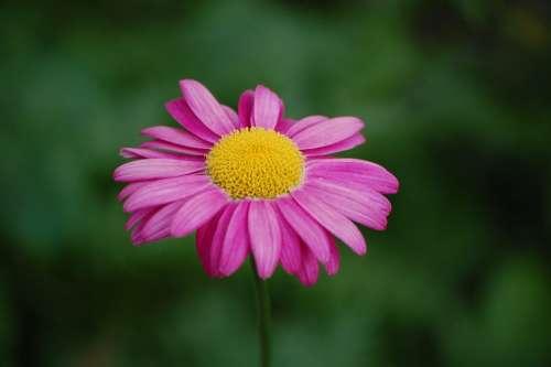 Blossom Bloom Purple Violet Pink Flower Plant