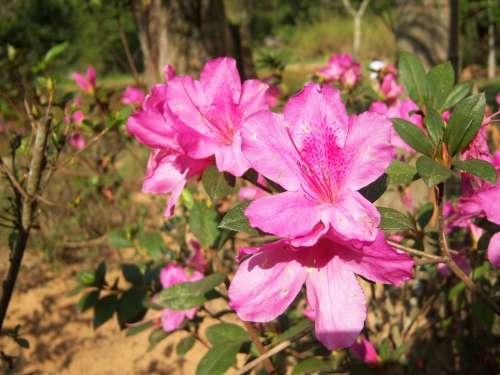 Flower Flowers Delicacy Azalea Garden