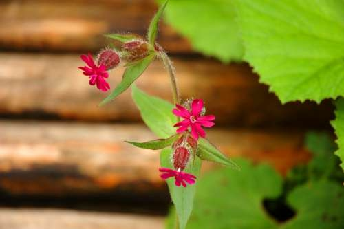 Flower Green Red Campion