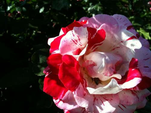 Flower Rose Pink White Red Plant Nature