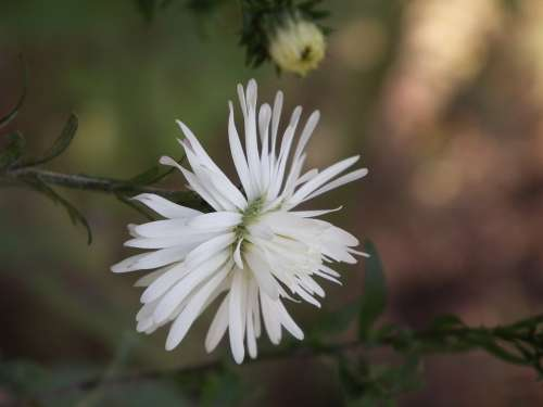 Flower Chrysanthemum White Summer Flowers