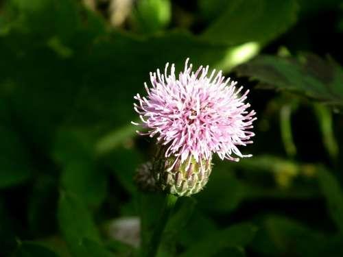 Flower Purple Pink Burdock Barb Bloom Colorful