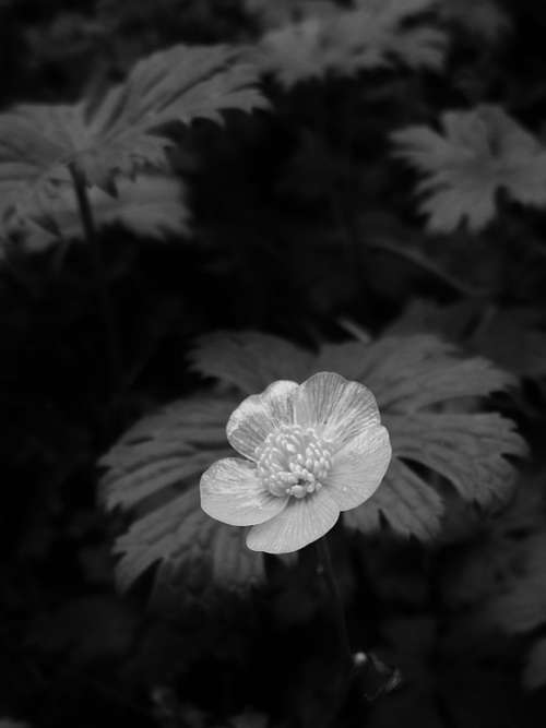 Flower Buttercup Black And White