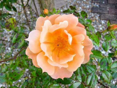 Flower Orange Rose Blossom Nature Flowers