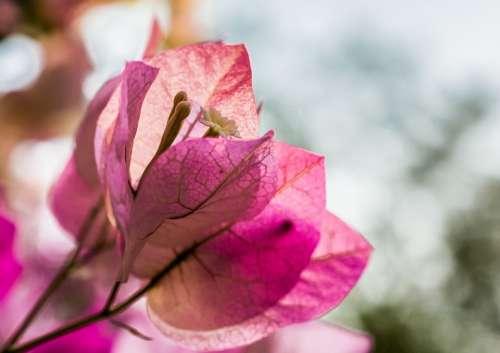 Blossom Bloom Flower Pink