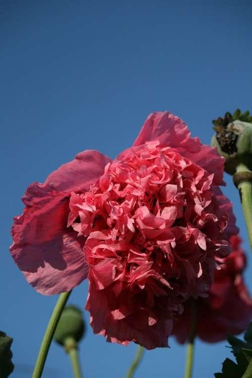 Flower Pink Frou Frou Poppy Summer Garden Sky