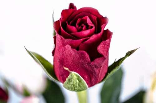 Flower Rose Love Valentine' Day Anniversary Gift