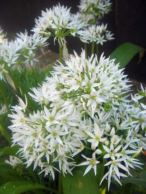 Flower Herbs Garlic White Garden