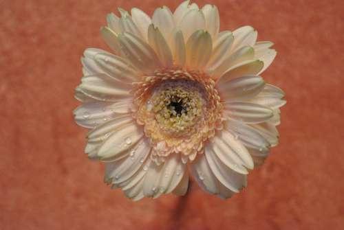 Flower Flora Close Up Garden Plant Blossom Bloom
