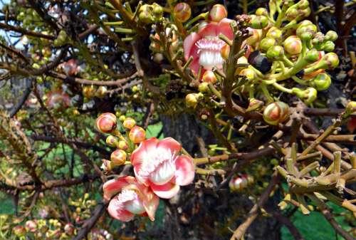 Flower Buds Couroupita Guianensis Cannonball Tree
