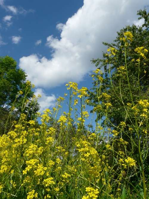 Blossom Bloom Flowers Yellow Sky Blue Clouds