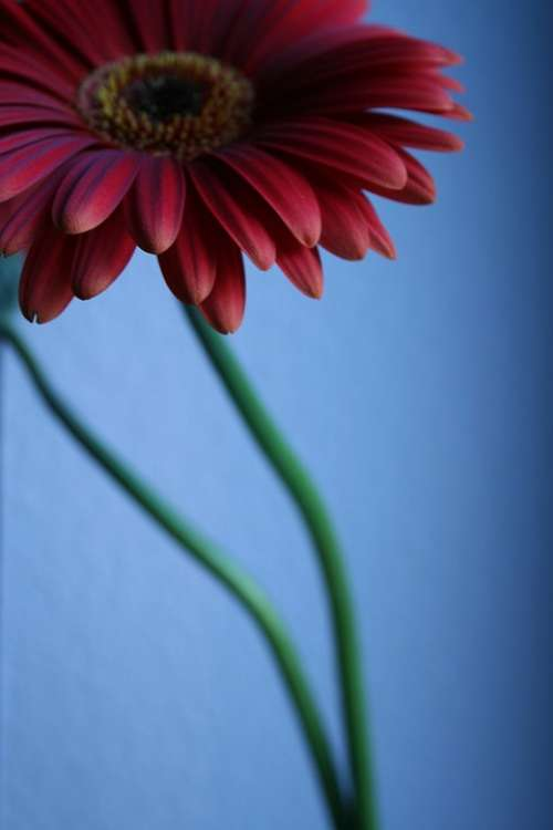 Flower Blossom Bloom Bloom Gerbera Red