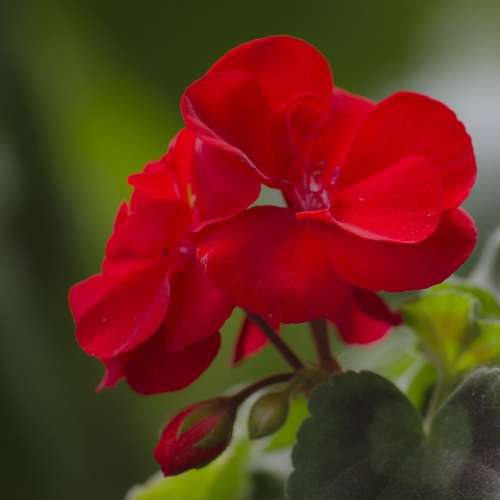 Flower Red Geranium Pelargonium Zonale Nature