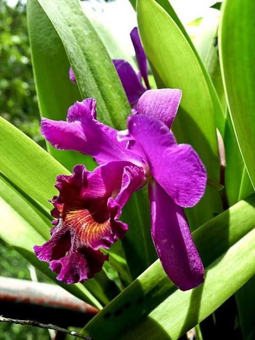 Flower Orchid Purple Flora Plant Tropical Garden