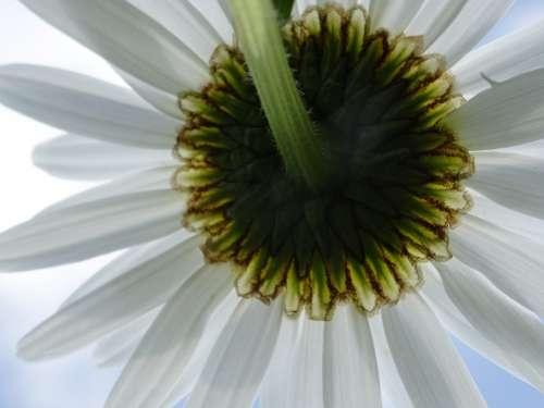 Flower White Margarithe Blossom Bloom Plant Flora