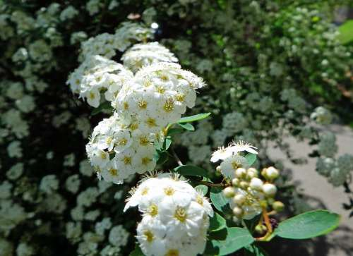 Blossom Bloom Bush White Shrub Nature Summer