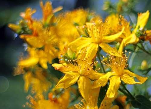 Blossom Bloom St John'S Wort Hypericum Perforatum