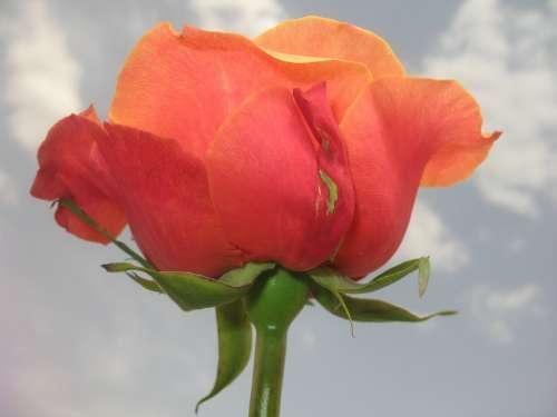 Flower Rose Contrast Nature Sky Cloud Green