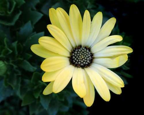 Flower Yellow Daisy Garden Nature