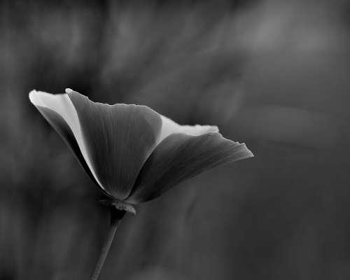 Flower Black And White White Black Nature