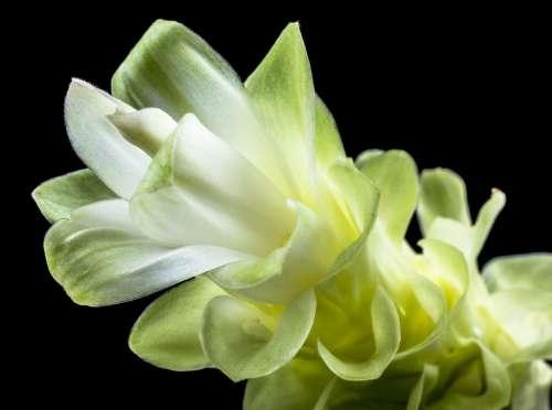 Flower Blossom Bloom White Green Close Up Petals
