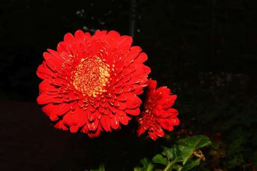 Blossom Bloom Flower Red Close Up Beautiful Flora