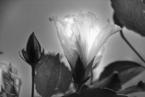 Flower Blossom Bloom Backlighting Black And White