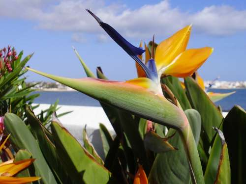 Flower Fuerteventura Spain Canary Landscape