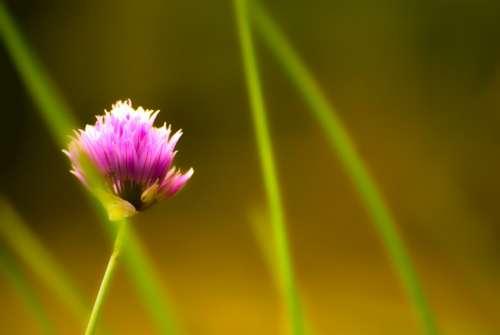 Flower Purple Herbs Nature Garden Flora