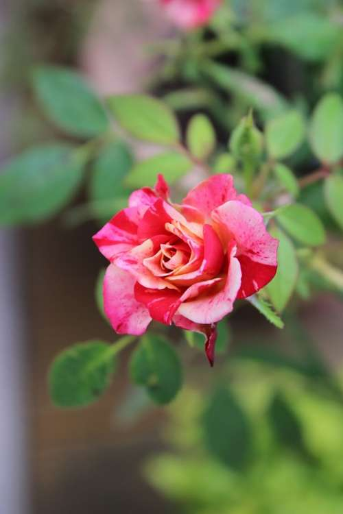 Blossom Bloom Pink Rose Plant Nature Flower
