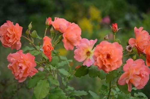 Flower Plant Nature Roses Pink Flora Tender
