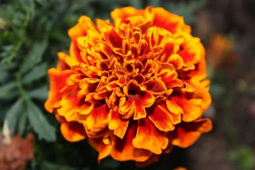 Blossom Bloom Orange Close Up Flower Plant