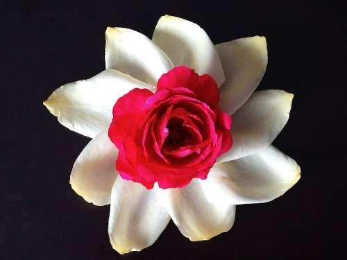 Flower Rose Rose Bloom White Red Black