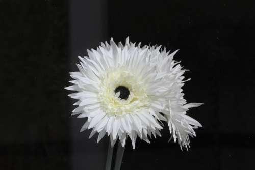 Flower Petal White Floral Summer Plant Bloom