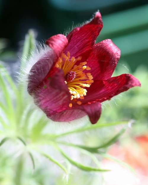 Flower Pulsatilla Red Stamen Leaves Plant Closeup