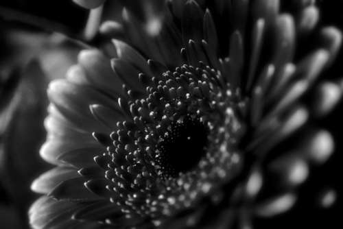Flower Blossom Bloom Nature Macro Black And White