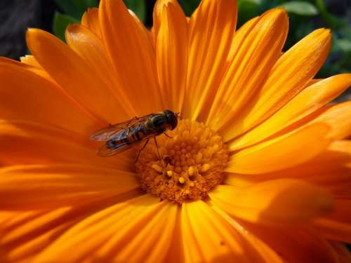 Flower Hoverfly Blossom Bloom Orange Plant Insect