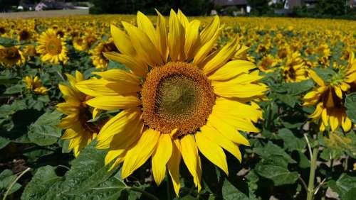Flower Plant Sunflower Yellow Bright