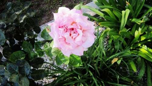 Flower Summer Flowers Nature Flowers Pink Green