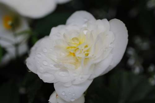 Flower White Dew Dripping Nature Flora Nice