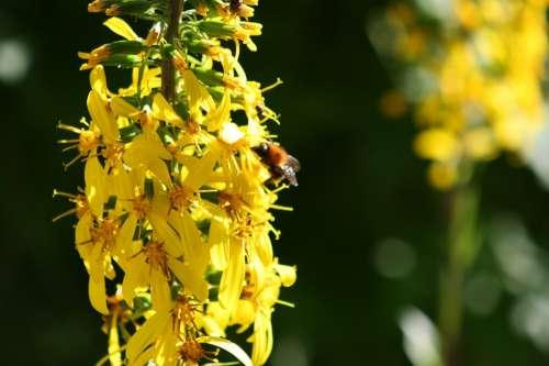 Flower Yellow Wild Flower Plant Nature Bee