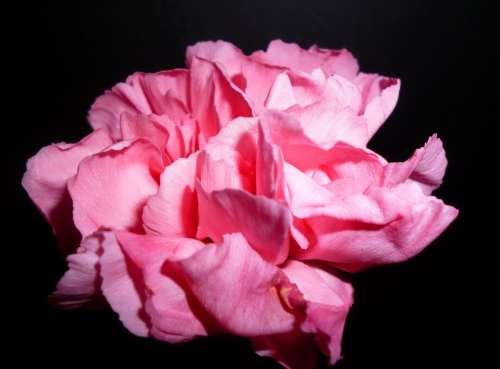 Flower Pink Blossom Bloom Nature Carnation