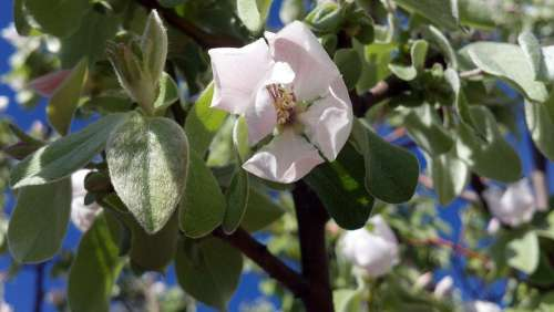 Flower Quince Spring Plant Fruit Quince Blossom