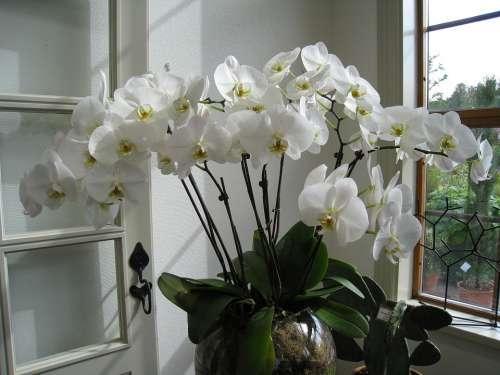 Flower Orchide Potted Plant Pot Orangery
