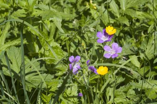 Flower Meadow Summer Summer Meadow Flowers Purple