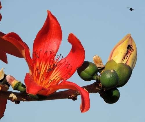 Flower Of Ceiba Speciosa Flower Tree Ceiba Speciosa
