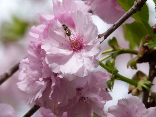 Flowering Tree Bee Pink Spring Bloom Insects