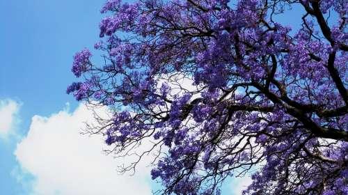 Flowers Jakaranda Purple Clusters Trumpet Shaped
