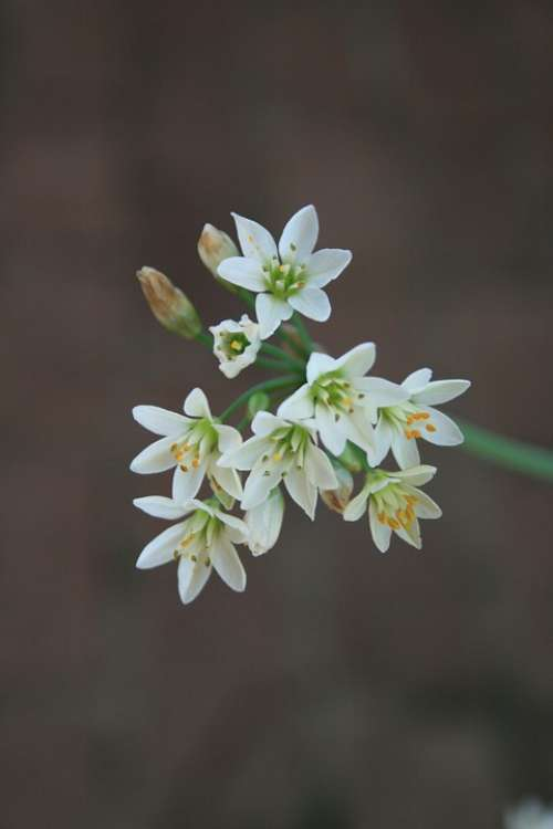 Flowers Garlic Small White Dainty Buds Stem